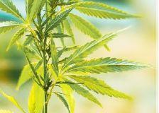 Le secteur spécialisé en matière d'assuétudes appelle à réglementer le cannabis en Belgique